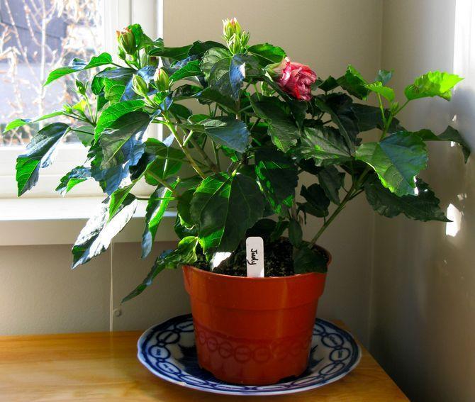 Когда цветет китайская роза. Почему китайская роза не цветет и сбрасывает листья? Почему гибискус не цветет