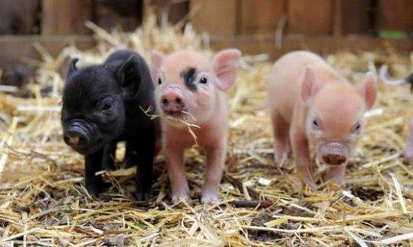 Многие болезни свиней и их симптомы, заболевание свиней, болезни вьетнамских маленьких поросят