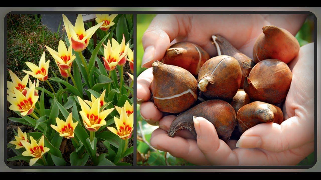 Что делать с детками тюльпанов после выкопки