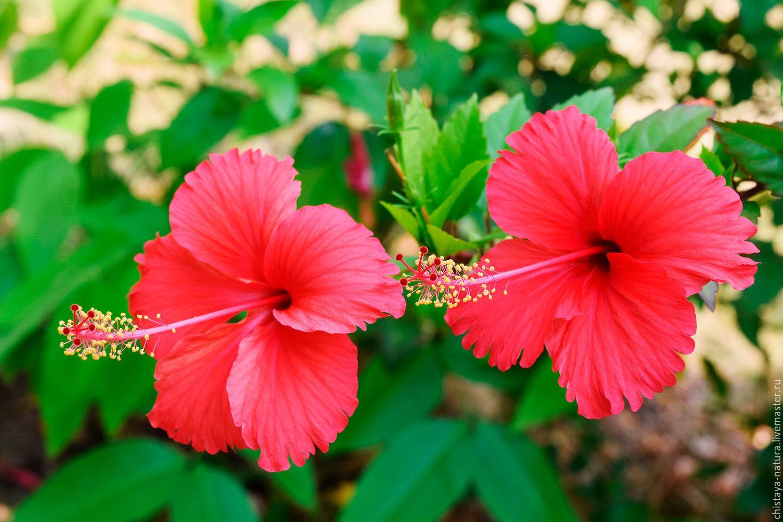 Каркаде гибискус суданская роза