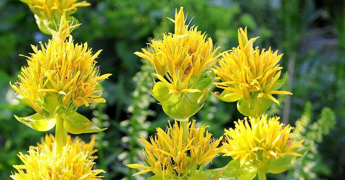 Горечавка: выращивание травянистого растения для открытого грунта
