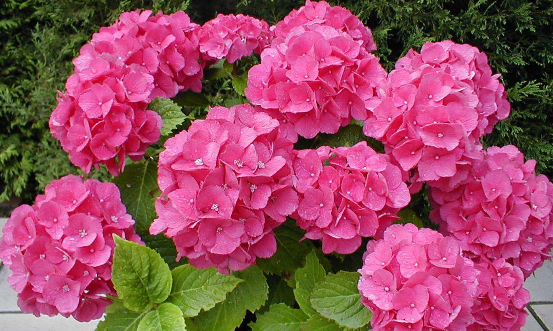 Как размножить гортензию садовую, древовидную, делением куста осенью
