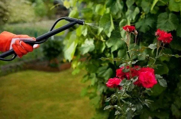 Почему темнеют бутоны роз