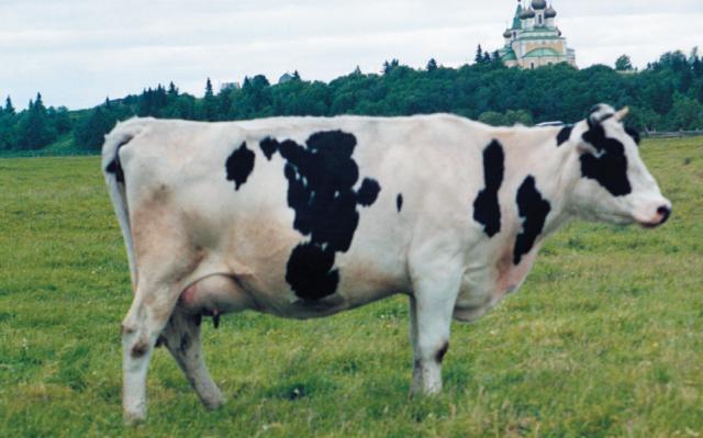 Молочные породы КРС холмогорские коровы