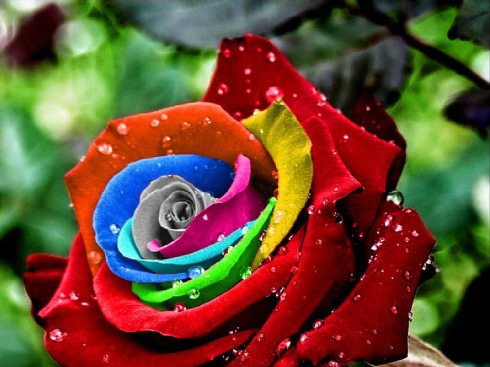 Розовые розы значение цветов
