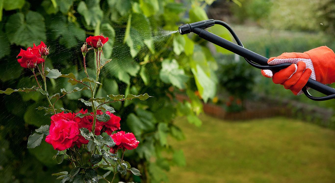 Вьющаяся роза уход и выращивание — Цветы365