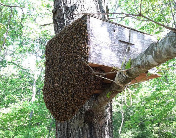 Ловушка для пчелиного роя своими руками