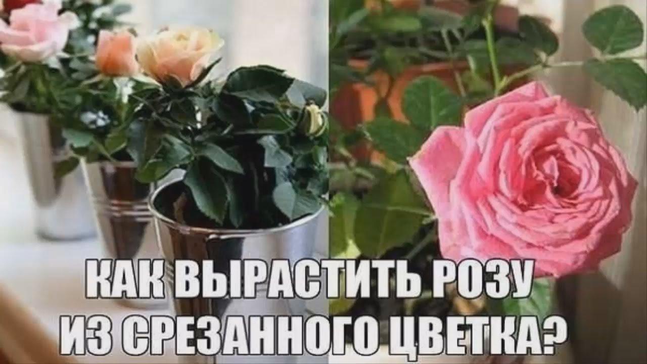 Как укоренить срезанную розу из букета в домашних условияхЭнциклопедия роз — сорта, описание и фото