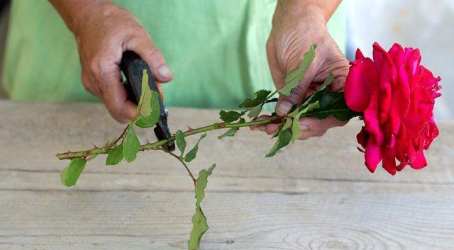 Как размножить и вырастить розу в картошке