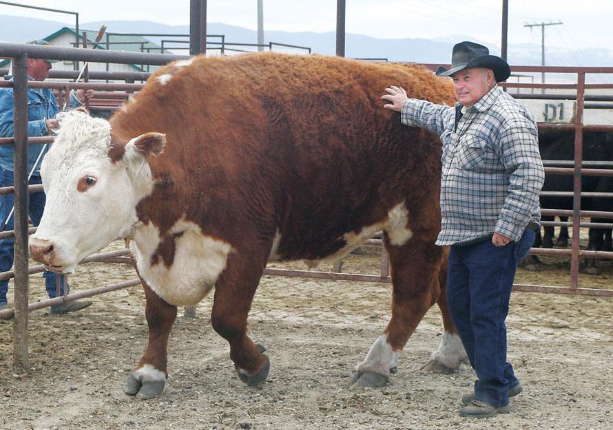 Как узнать живой вес коровы
