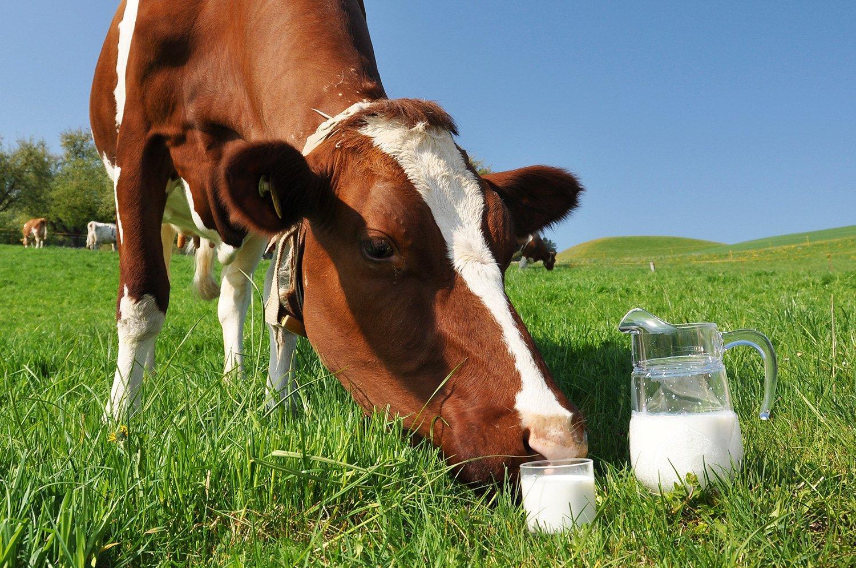 Коровы и молоко картинки
