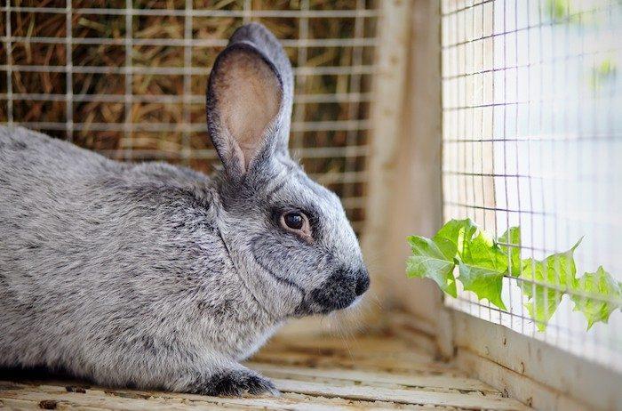 Причины и лечение вздутия живота у кроликов