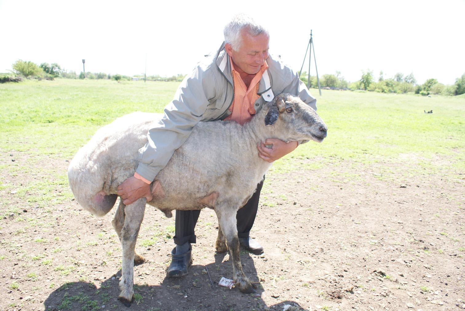 Что такое курдючный баран