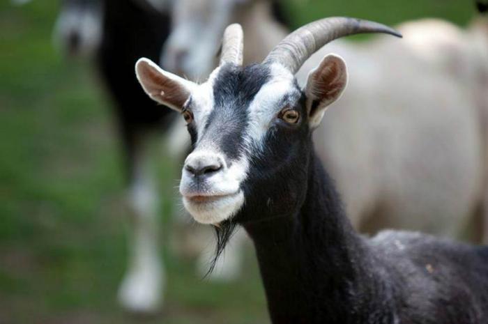 Все о мелком рогатом скоте