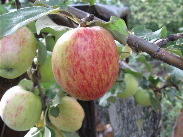 Описание сорта яблони Орловское Полосатое