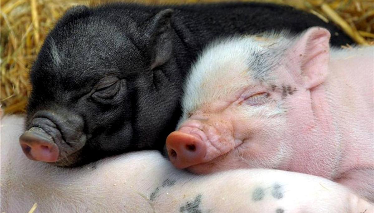 Отек легких у свиней