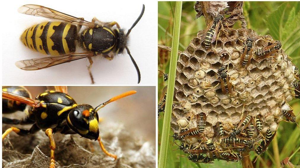 Матка осы особенности поведения и жизненный цикл основательницы колонии