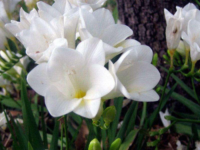 цветы фрезия посадка и уход фото постель, круглосуточная охрана