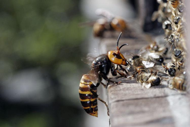 Воровство пчел как бороться