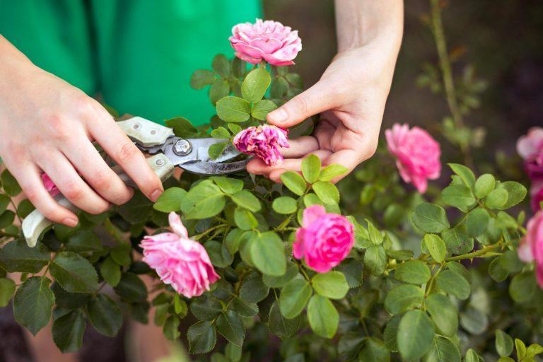 Почему комнатная роза сбрасывает бутоны