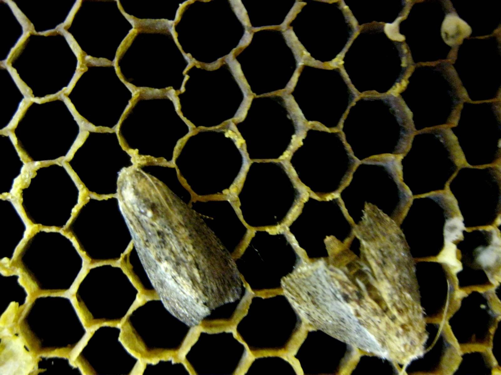 Огневка пчелиная восковая моль
