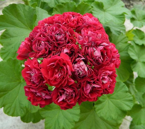Пеларгония розебудная Prins Nikolai, укорененные черенки
