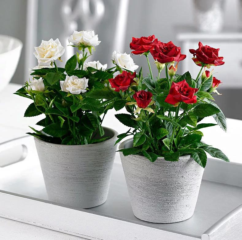 Роза Кордана Микс – как ухаживать после покупки в домашних условиях, в саду