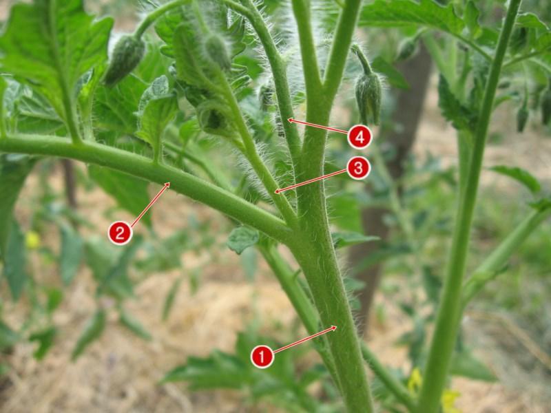 Картинка пасынки на помидорах