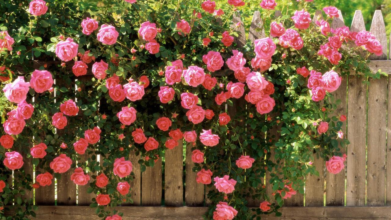 О посадке плетистой розы: как правильно сажать на даче летом и осенью