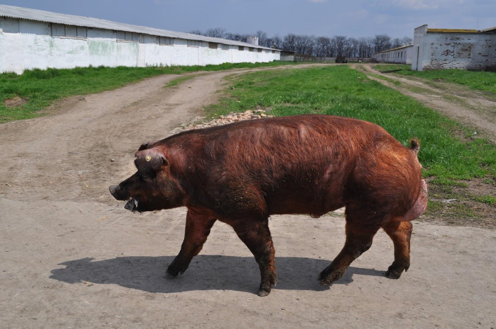 Порода свиней дюрок описание и характеристики условия содержания разведение