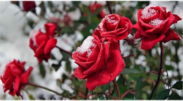 Какую температуру выдерживают розы без укрытия осенью