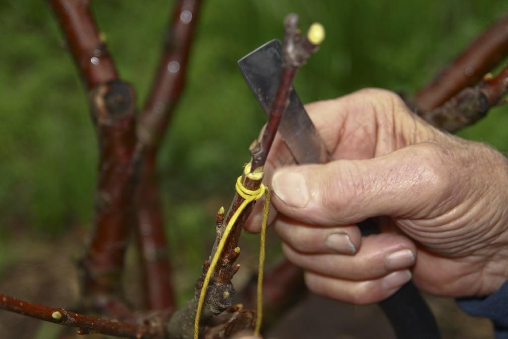 Можно ли привить абрикос на сливу и как это правильно сделать