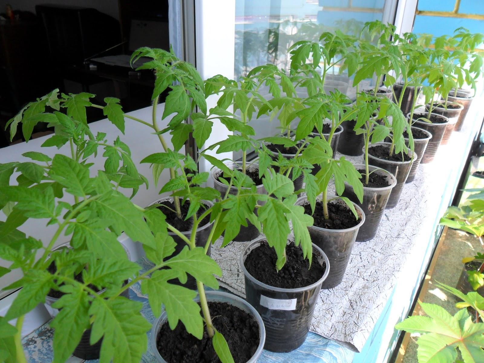 Почему у помидор фиолетовые листья