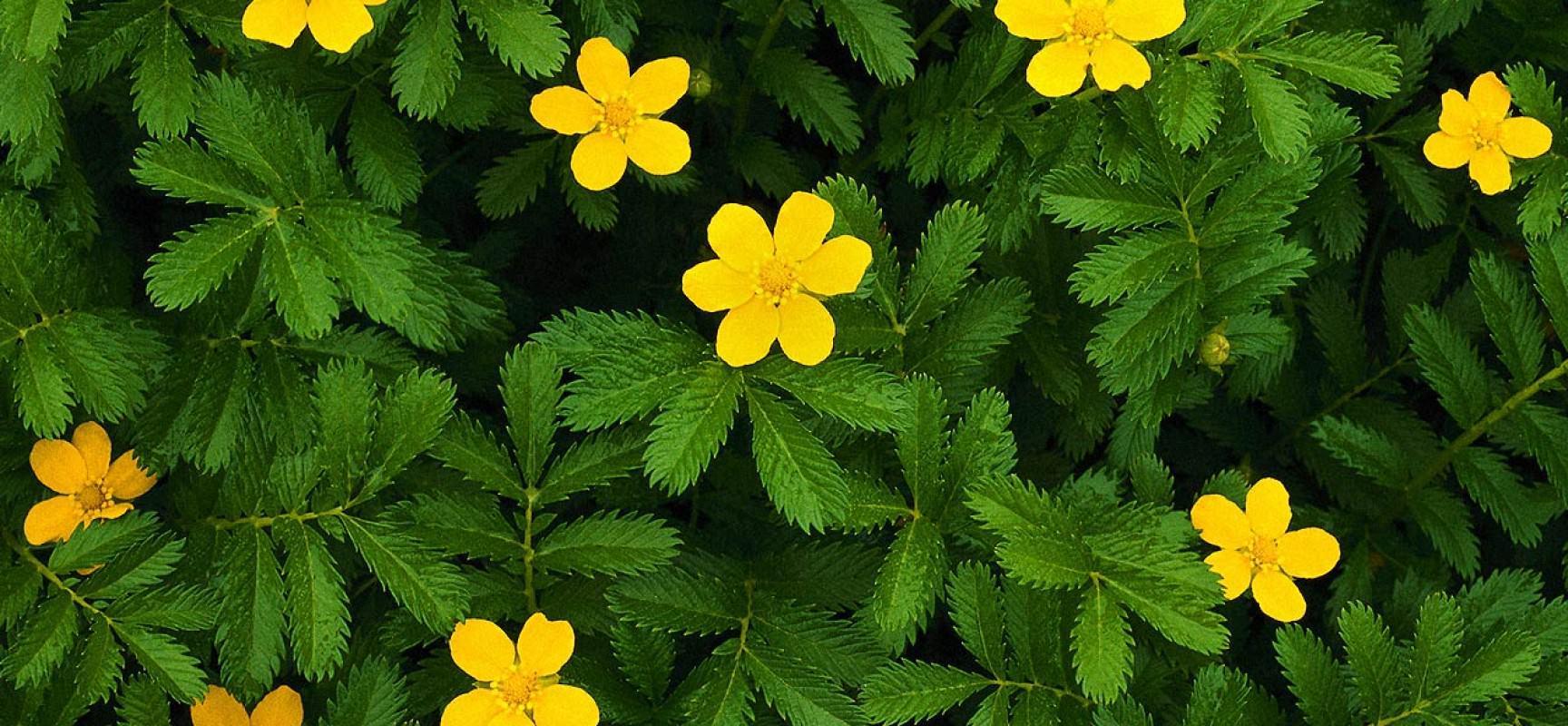 Солерос европейский, трава сушеная применение,свойства,противопоказания