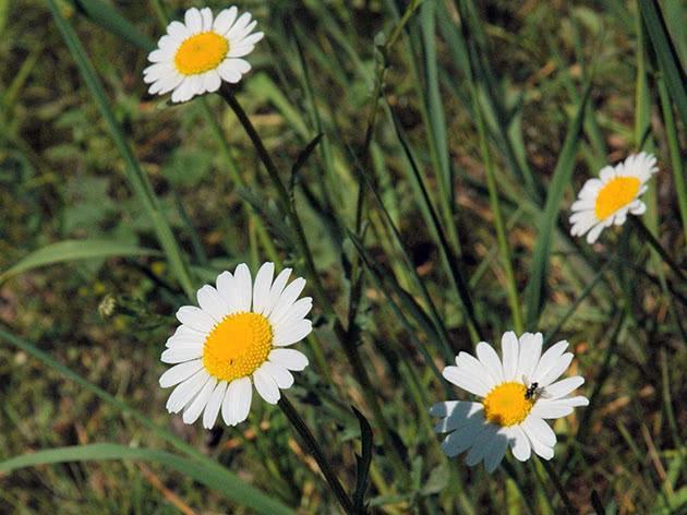 Ромашка низкорослая — Все цветы