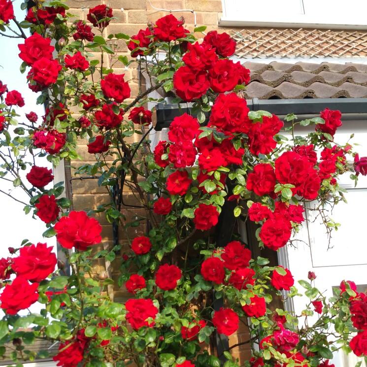 таких самые простые плетистые розы фото и названия панелями, тоже надо