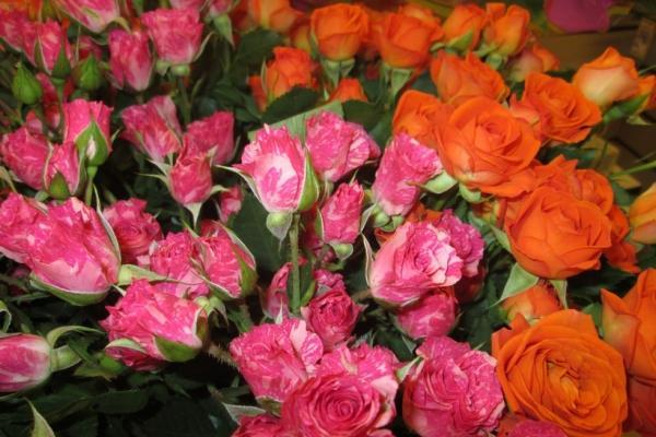 Роза Эквадор - Саженцы купить в магазине питомника