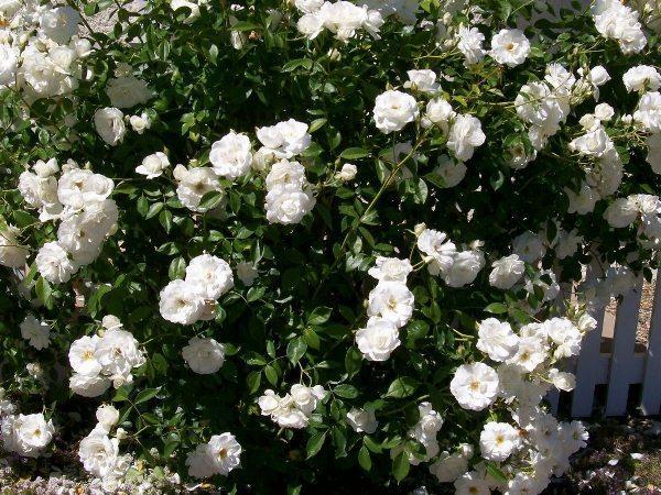 Как называется цветок с маленькими розочками