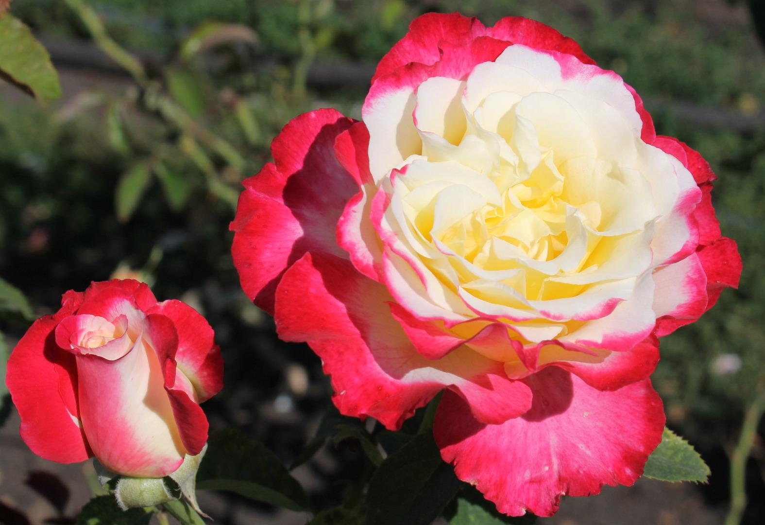 красивая роза дабл дилайт фото и описание такой необычной