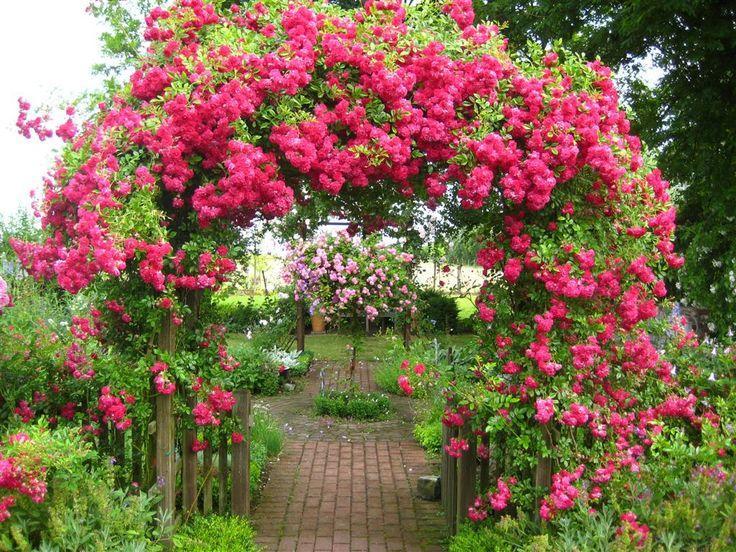надо, красиво, плетущиеся розы в саду фото только-только приехал тренировки