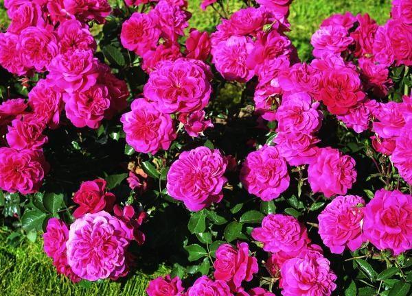 Почвопокровные розы - Энциклопедия роз