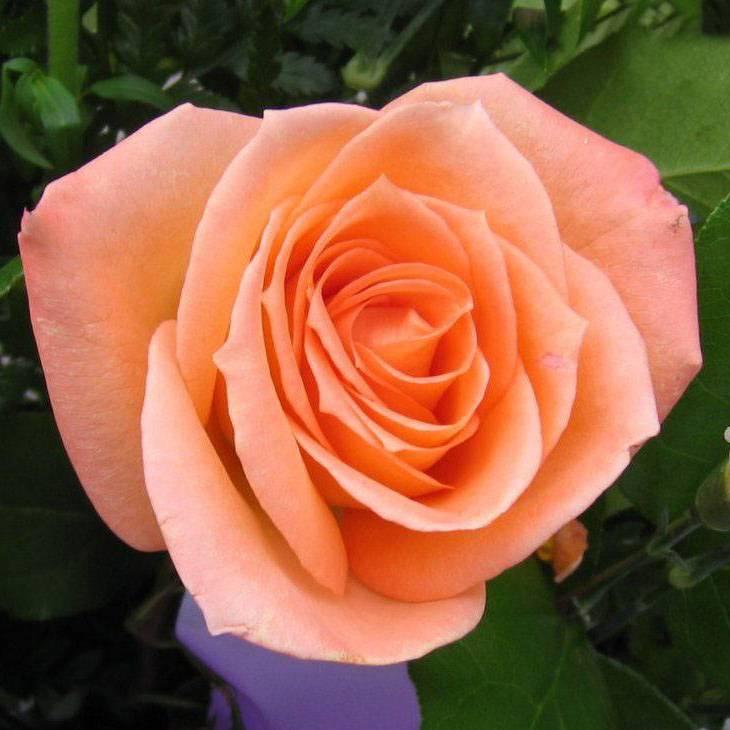 Роза флорибунда Оранджес энд Лемонс (Oranges and Lemons)