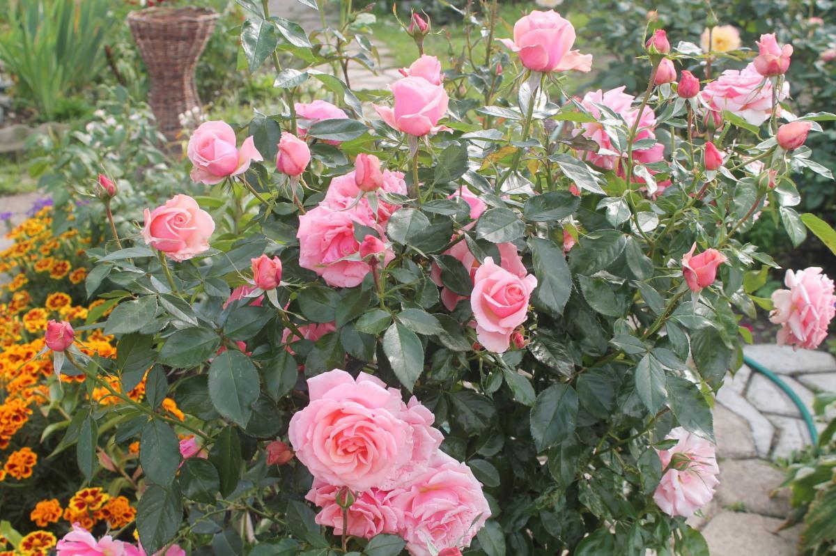 Мускусные розы – сладкие грезы