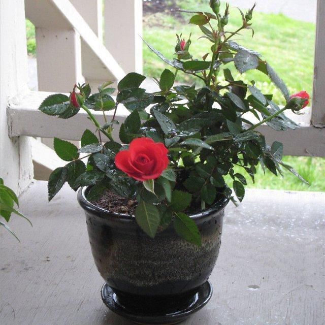 Ржавчина на розах лечение
