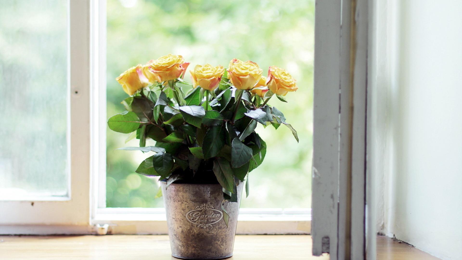 Роза на подоконнике как вырастить