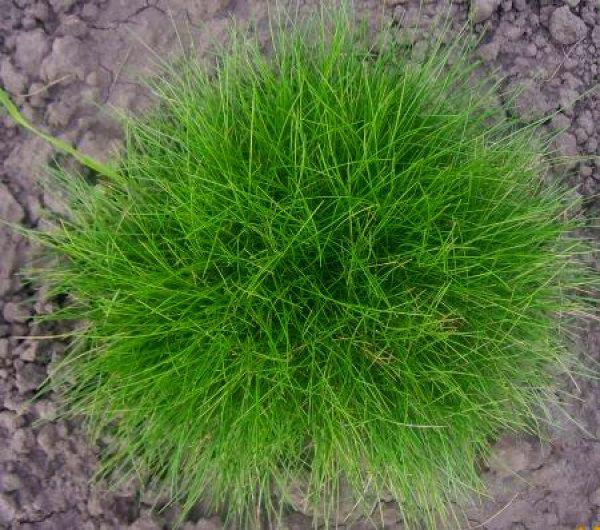 Газонная трава Лилипут описание состав и характеристики