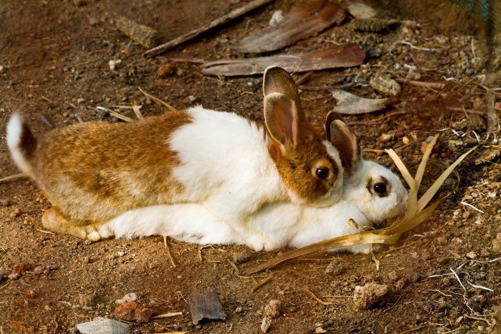 В каком возрасте случают кроликов
