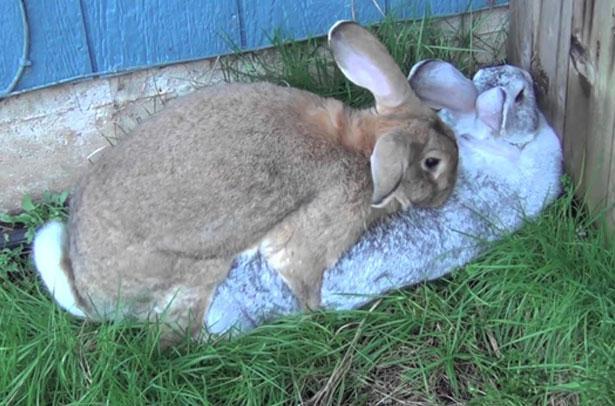 Громов И.М., Ербаева М.А. Млекопитающие фауны России и сопредельных территорий. Зайцеобразные и грызуны. Отряд Зайцеобразные. Семейство Зайцевые. Род Кролики. Кролик