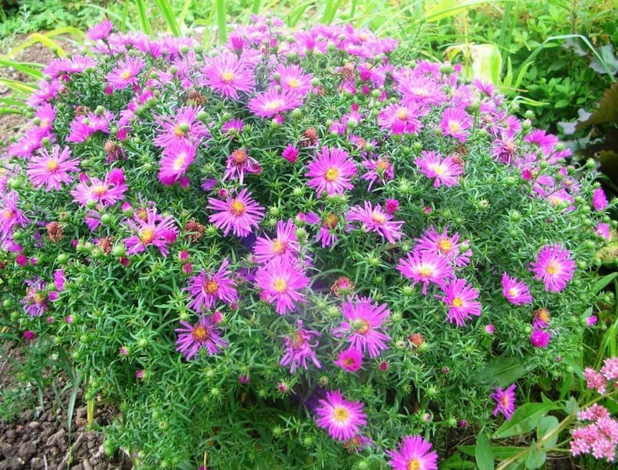 Почвопокровные многолетники цветущие все лето: фото с названием
