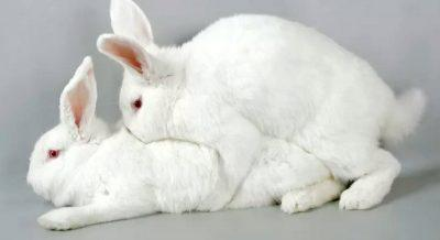 Когда лучше случать крольчиху